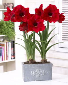 Amaryllis-Red-Lion-breed