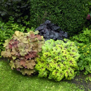 Heuchera Mixed-2
